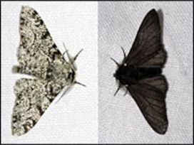 Peppered Moth Natural Selection In Black And White